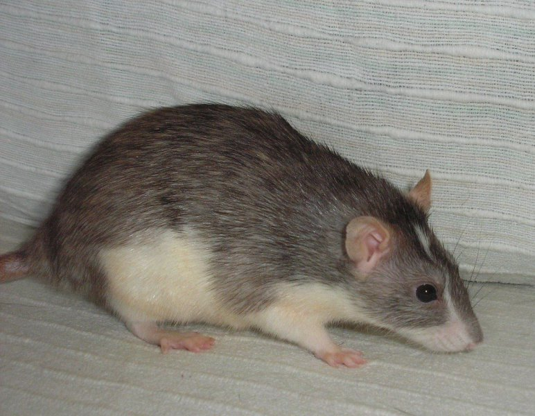agouti chinchilla