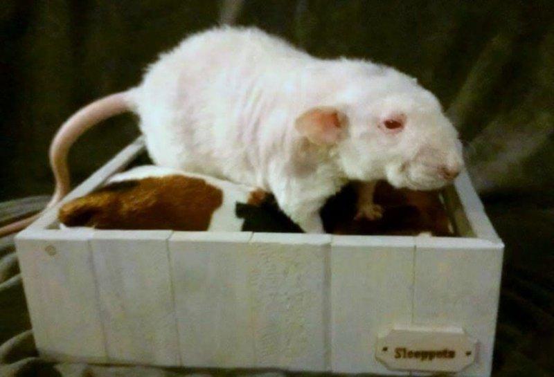 wit roodoog dubbelrex dumbo
