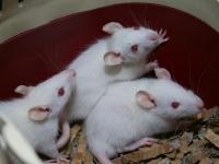 albino en himalayan rittens